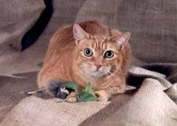 Acme-cat