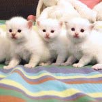 Crystal-Pangs-kittens-150x150
