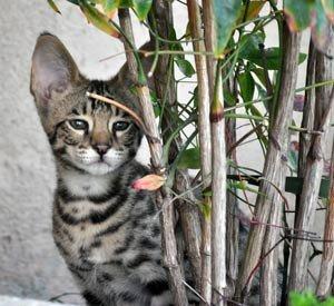 WESA-Feline-Savannahs