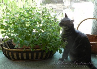 Caesar enjoys catnip plants indoors