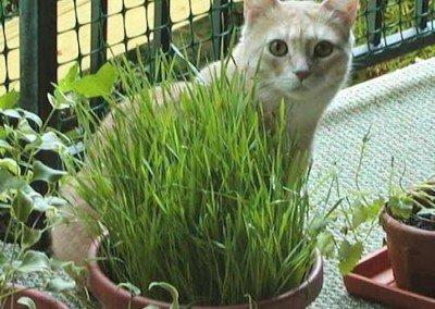 Caesar loves his grass.