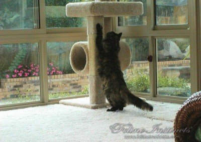 Lady Natascha and her favorite scratching pole