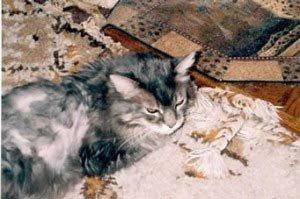 feline-instincts-raw-meat-diet-feline-diabetes-success-stories