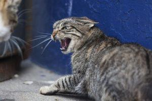 feline raw diet premix